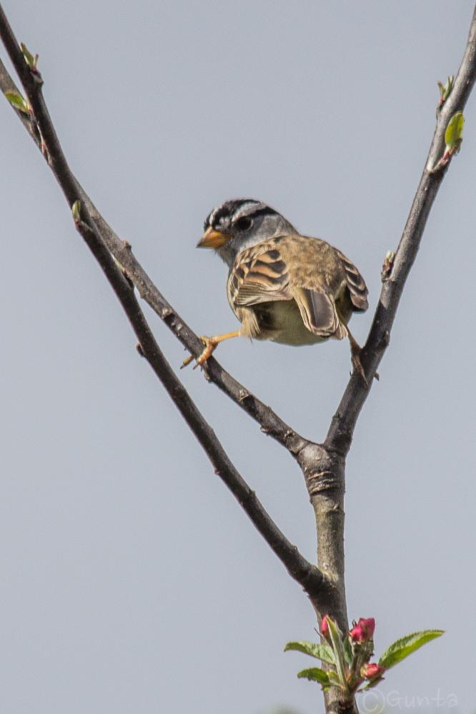 sparrow-0562