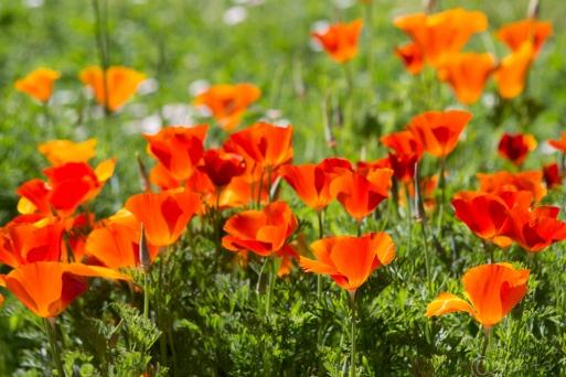 poppies-1202