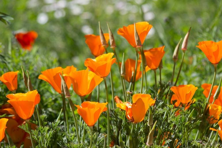 poppies-1205