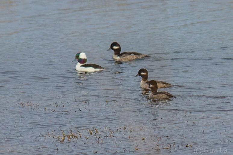 ducks-4235