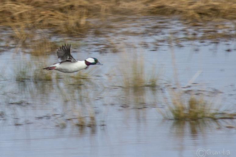 ducks-4257