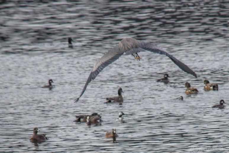ducks-4260
