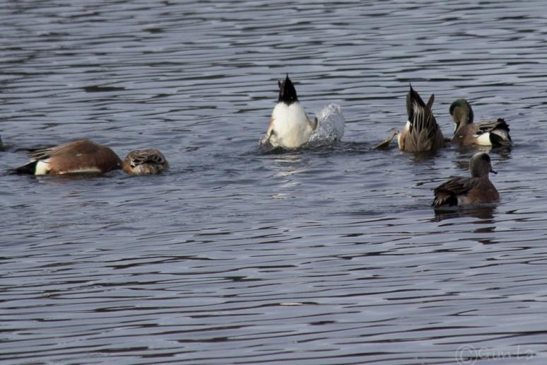 ducks-4297