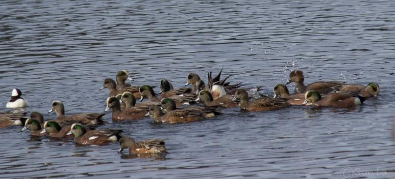 ducks-4300