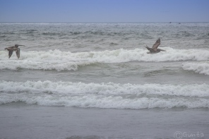 pelicans coasting along the surf