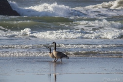 geese-154