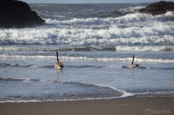 geese-161