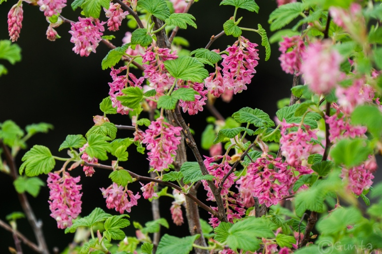 red_currants-00807