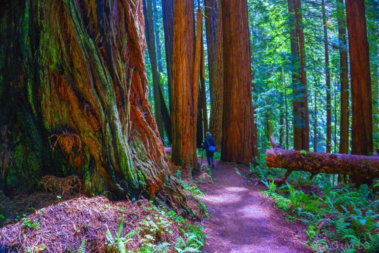 redwoods-00291-2