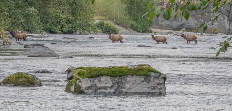 1- Elk crossing the Queets River