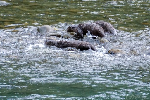 2- Three otters playing in the Queets River