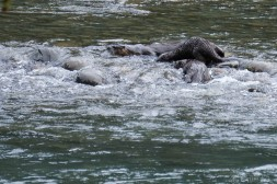 3- Three otters playing in the Queets River