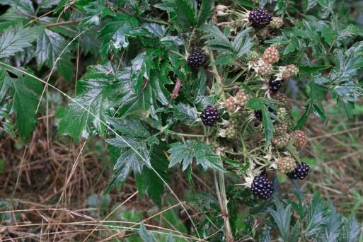 9-blackberries